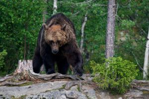 Brown bear - Ursus arctos